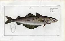 Fische-Angeln-Kupferstich Bloch 1782 Pollac - Pollack - Fisch
