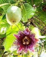 *UNCLE CHAN* 4 SEED GIANT GRANADILLA SWEET Passiflora quadrangularis RARE EXO