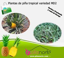 Venta de plantas de PIÑA TROPICAL - Variedad MD2 (buen sabor y dulce)