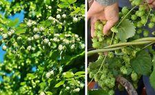 Jetzt pflanzen Hopfen winterharte schnellwüchsige Kletterpflanze für den Garten