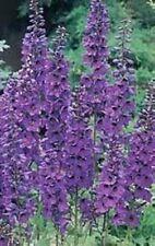 50 BLACK KNIGHT DELPHINIUM Cultorum Pacific Giant Larkspur Flower Seeds *CombS/H