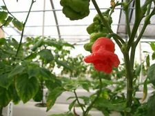 VEGETABLE  HOT CHILLI PEPPER MUSHROOM RED  150 FINEST SEEDS