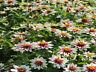50 Zinnia Seeds Phoenix Rose Star FLOWER SEEDS