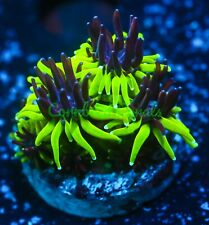 Cornbred's Ppe Galaxia - Frag - Live Coral