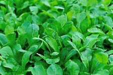 Choy Sum, rotstielig Brassica campestris Gemüse 60 Samen VERSAND FREI !!!