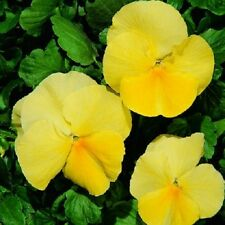 50 Pansy Seeds Character Clear Primrose Flower Seeds