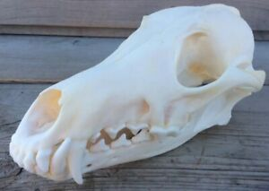 Coyote Skull Authentic Montana Coyote Skull