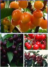 20 Seeds/Pack 4 colors Taste Tempting Round Plums Fruit Tree Seeds 5pcs/color