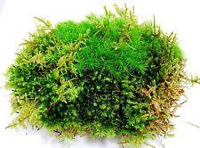 Live moss, sheet of mixed moss, for terrarium, vivarium. terrarium plant