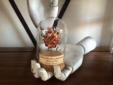 Globe Fleur sechée Leucadendron pubescens / Cabinet de curiosités / naturalisme