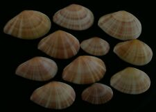 edspal shells - Tellina virgata 43.3mm- 67.9mm F+++, set of  11pcs. seashells