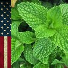 Seeds 100+ Peppermint Herb NON-GMO