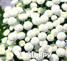 Rare - SNOW BALL FLOWER - 1600 seeds - Chrysanthemum Tanacetum parthenium
