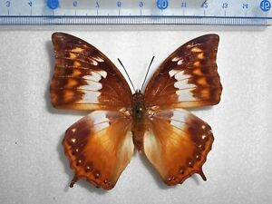 Charaxes mars dohertyi 1Pair  from  Palu, Sulawesi, INDONESIA