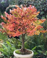 50 Graines d'Arbre au caramel, Cercidiphyllum japonicum, Katsura tree seeds