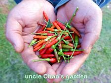 *UNCLE CHAN* 50 CHILLI PEPPER seed THAI BIRD'S EYE SPICY EXTREMELY HOT COOK