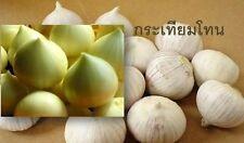 Single Clove garlic 30 big Bulbs Single Bulb form of Elephant Garlic herbs