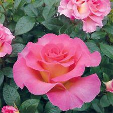 Edelrose  Rose Chippendale®  intensiv duftend f
