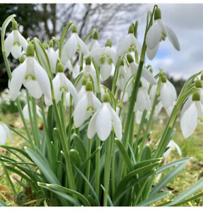 50 Single Snowdrop Bulbs  Spring Flowering Available Now