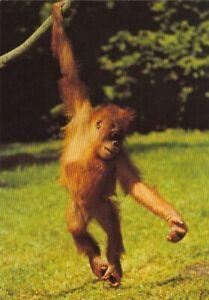 Tiere: Ein Orang-Utan ngl G4802