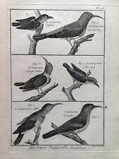 PICCHIO MURATORE VERDE Benard 1790 HISTOIRE NATURELLE Ornitologia Uccelli