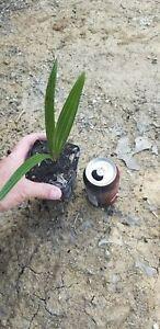 Needle Palm Live Seedling Hardy to -10F Rhapidophyllum hystrix