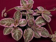 "Episcia Pink Smoke  2"" Pot Gesneriad Terrarium Plant"