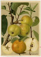 Antique Print-ROSENAPFEL-YELLOW TRANSPARENT-APPLE-184-Bissmann-ca. 1920