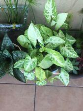 Syngonium Podophyllum Arrowhead Plant 'White Butterfly' Live Plant