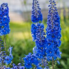 Delphinium Blue Jay -  Appx 30 seed - perennials