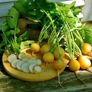 300 Graines de Radis Rond Jaune - légumes ancien - méthode BIO