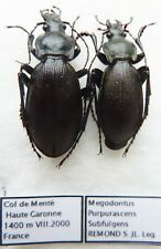 Carabus megodontus purpurascens subfulgens (pair A1) from FRANCE