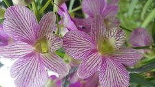 MATURE DENDROBIUM ORCHID IN SPIKE/BLOOM - PINK STRIPED NOBILE
