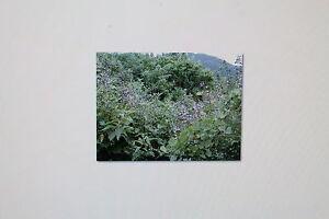 1 Samen Yamsbohne,mexikanische Kartoffel,Pachyrrhizus erosus, # 165