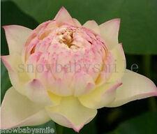 10 Dancing Girl Lotus Seeds Bowl Nelumbo Nucifera Pond Aquarium Fragrant Flower