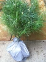 14 Smokie mountain White pine Starter trees 12-15 inch tall transplant seedlings