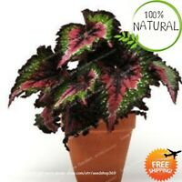 Unique 24 Colors Seeds Plants Begonia Flower Bonsai Courtyard Balcony Coleus