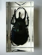 CHALCOSOMA ATLAS BEETLE. Real Scarabaeidae Coleoptera resin encapsulation.