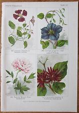 Vilmorin: Flowers Beautiful Print Clematis Paeonia - 1896