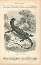 Varan bigarré Varanus varius d'Australie GRAVURE ANTIQUE OLD PRINT 1878