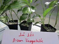 "36 Cuttings 6"" Piper Lalot Lolot Sarmentosum Spice Plant Lá Lốt"