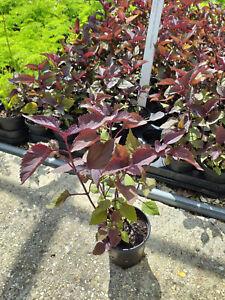 Eupatorium rugosum 'Chocolate' -  Purple leaved perennial Plant in 9cm Pot