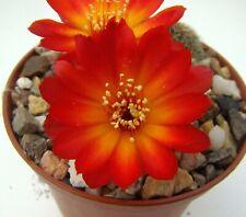 Sulcorebutia tarabucoensis v. callecallensis EM 351 Nr. 2