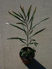 "8-10"" 2 Year Old Acacia maidenii Maiden'S Wattle (1) Organic Live Plant"