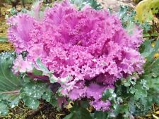 Brassica Oleracea Ornamental Cabbage 20 Seeds Colorful Flower Kale