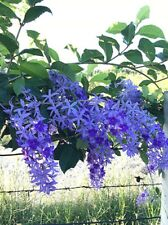 10 seeds Petrea volubilis L. Purple wreath Queen flower vine climb