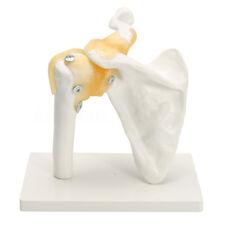 Life Size Anatomical Functional Human Shoulder Joint Teaching Flexible Model