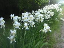 10 organicaly grown white tall German bearded iris rhizome bulbs