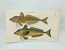 Original 1803 Shaw Hand Colored Copperplate Engraving Fish - Gurnard