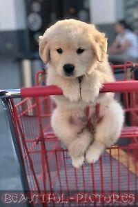 Tier Foto - Hunde Foto - Golden Retriever - Hochglanz - Größe 10x15 - Farbe